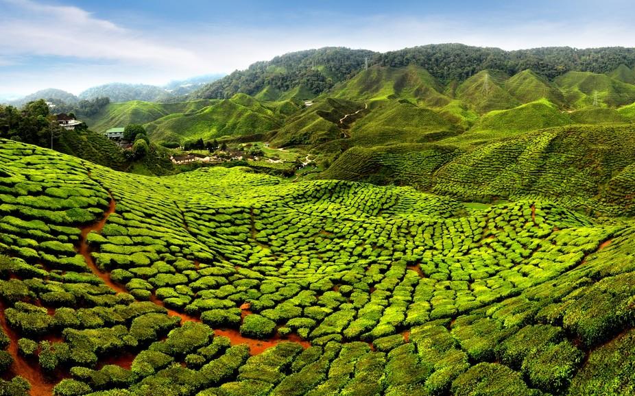 Cameron Highlands tea_Panorama