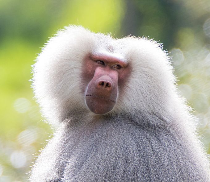 Baboon by AKIWITOG - Monkeys And Apes Photo Contest