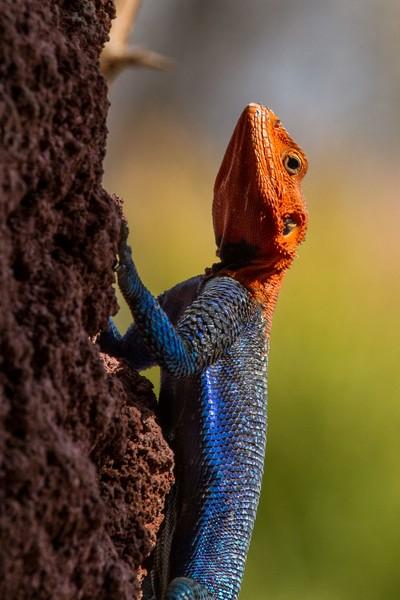 Red-Headed Rock Agama Lizard
