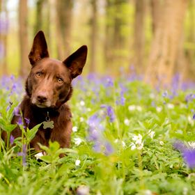 Spring is finally here with the arrival of the bluebells! Such a magical place and great for capturing a nice woodland shot of my dog, Bailey!
