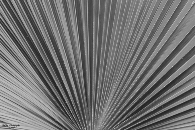 Taken with Nikon D5000 using AF-S Nikkor 70-300mm 1:4.5-5.6 G lens.  Close up of Palmetto branch; straightened, resized, and converted to black and white using Photoshop Elements 14.