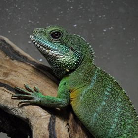 Here is a high definition photo of my buddy Toothless; Chinese Water Dragon.