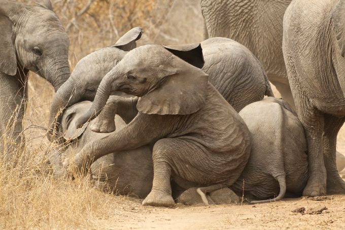 Elephant Pile Up by markcowne - Big Mammals Photo Contest