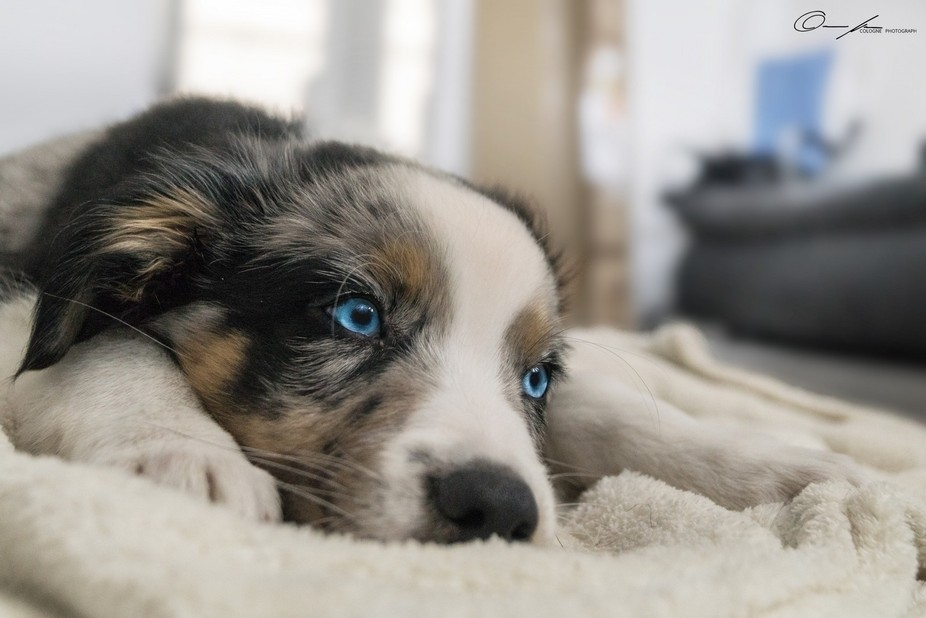 First shooting with Cody, an Australian Shepherd puppy from Cologne. It's the dog of a f...