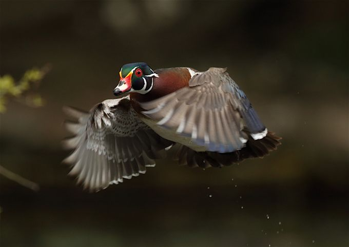 Male wood duck by alainmauviel - Showing Movement Photo Contest