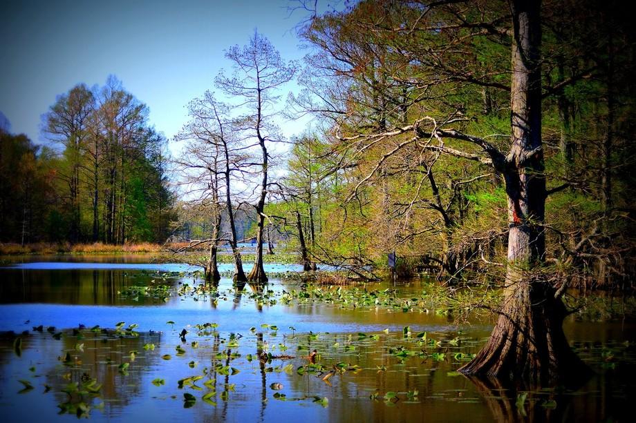 ReelFoot Lake Cypress Tree