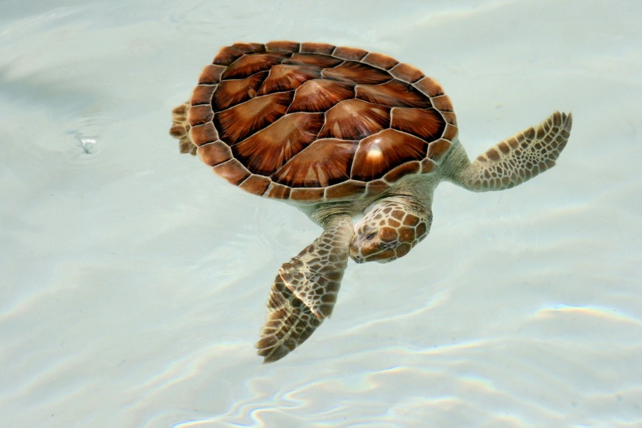 I photographed this young Sea Turtle while in Mexico.  He was swimming along and for one moment, ...