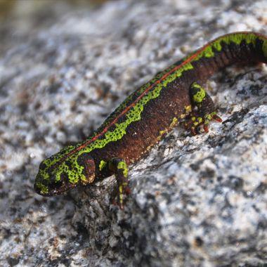 Salamander 2