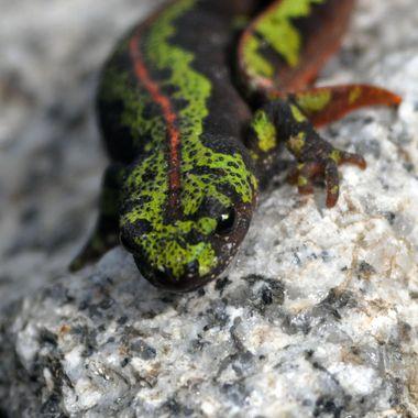 Salamander 3