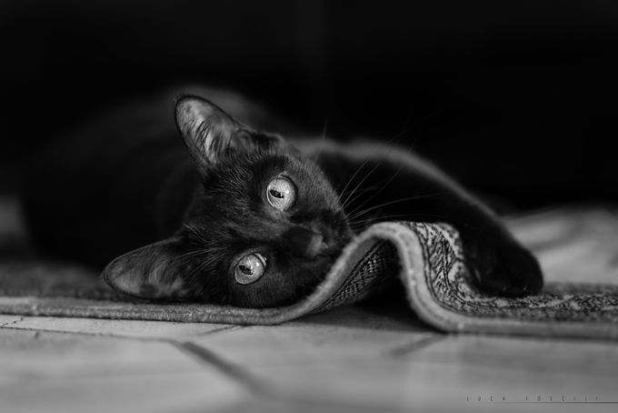 Musetta by lucafoscili - Feline Beauty Photo Contest
