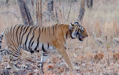 Collared-Tiger
