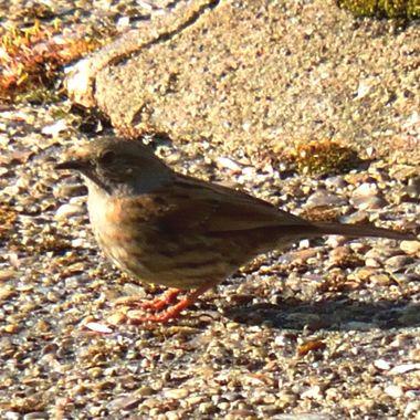 Sparrow on the concrete.