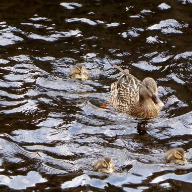 Mummy and Triplets in the Canal 2day 20/04/16
