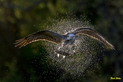 Osprey With Fish Shaking off the Water
