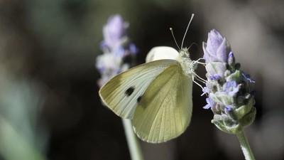 Cabbage White on lavender flower