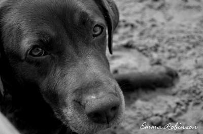 Millie our Chocolate Labrador