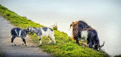 Goat & Kids, Lynton 02