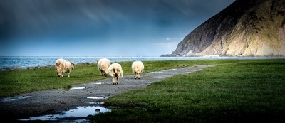 4 Sheep Lynmouth