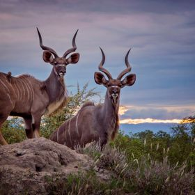 Kudu in the Sunset