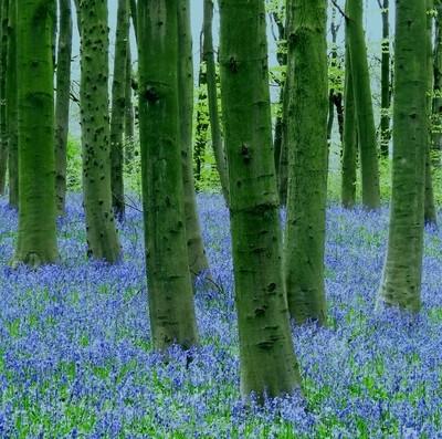 Blue stumps
