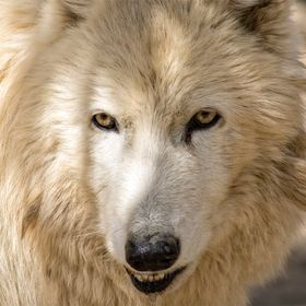 Rescued to Wild Spirit Wolf Sanctuary