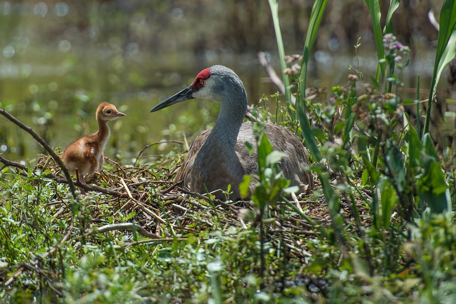 sandhill & chick on nest