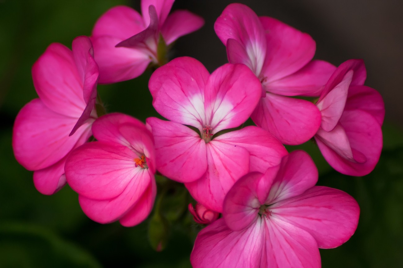 A cluster of pink Geranium flowers