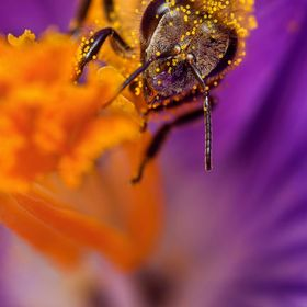 Honey bee collects pollen on a flower.