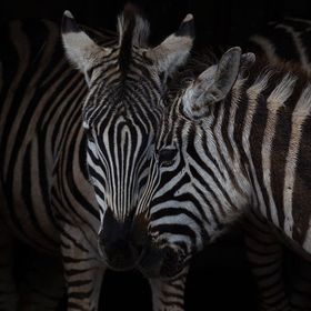 The transparent zebras