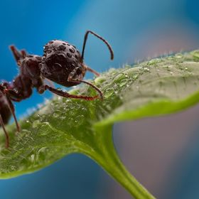 Ant on a leaf after rain