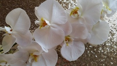 The orchids  like as big as a dinner plate!