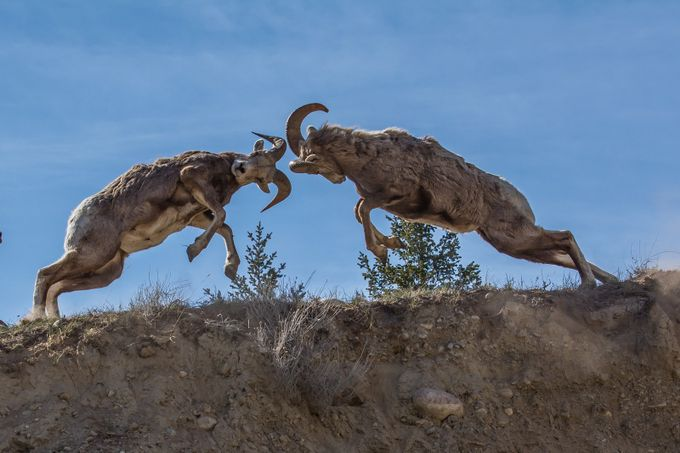 Rams Fighting by aplrichard - Monthly Pro Vol 24 Photo Contest