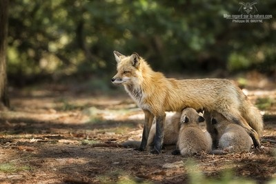 Red fox family !!
