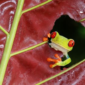 Red-Eyed Tree Frog in Costa Rica (Wild)