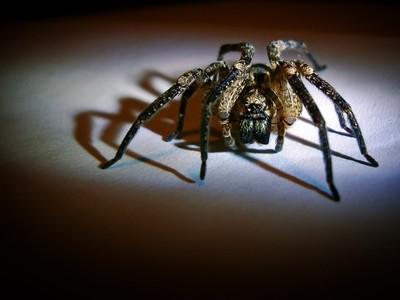 House spider I