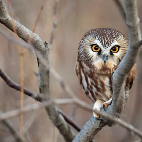 Northern Saw-Whet Owl in Ontario, Canada
