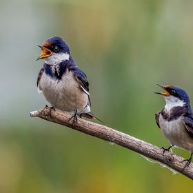 Two White Throated Swallows singing