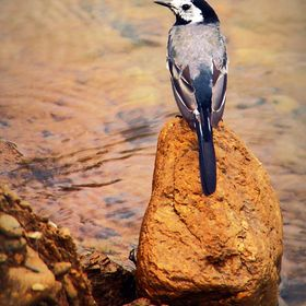 A small bird standing on a stone in the water, wich remind me of a preacher standing in his pulpit. Taken near a big dam in a summer day. I'...
