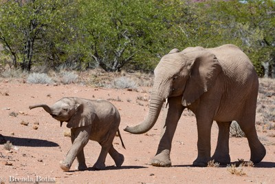 Damaraland desert elephants- very brave youngster