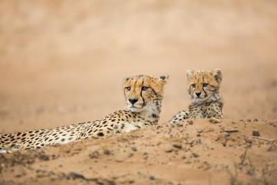 Family - Cheetah
