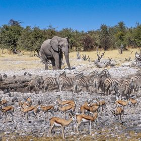 Here he comes, give him some space! Waterhole in Etosha National Park, Namibia