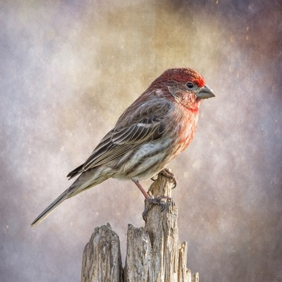 Male House Finch Posted On Top