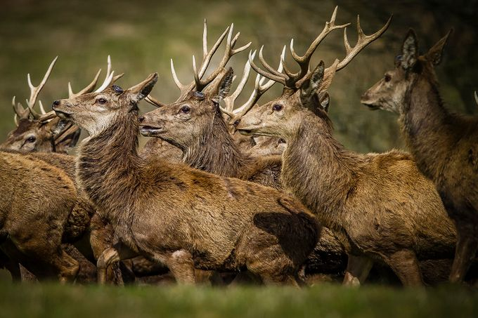 Stags Head by robertpuig - Big Mammals Photo Contest