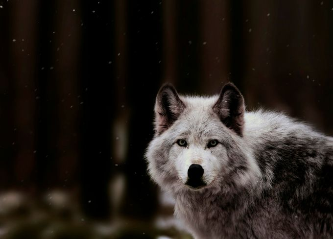 Winter Silence  by ElysianFineArt - Wolves Photo Contest