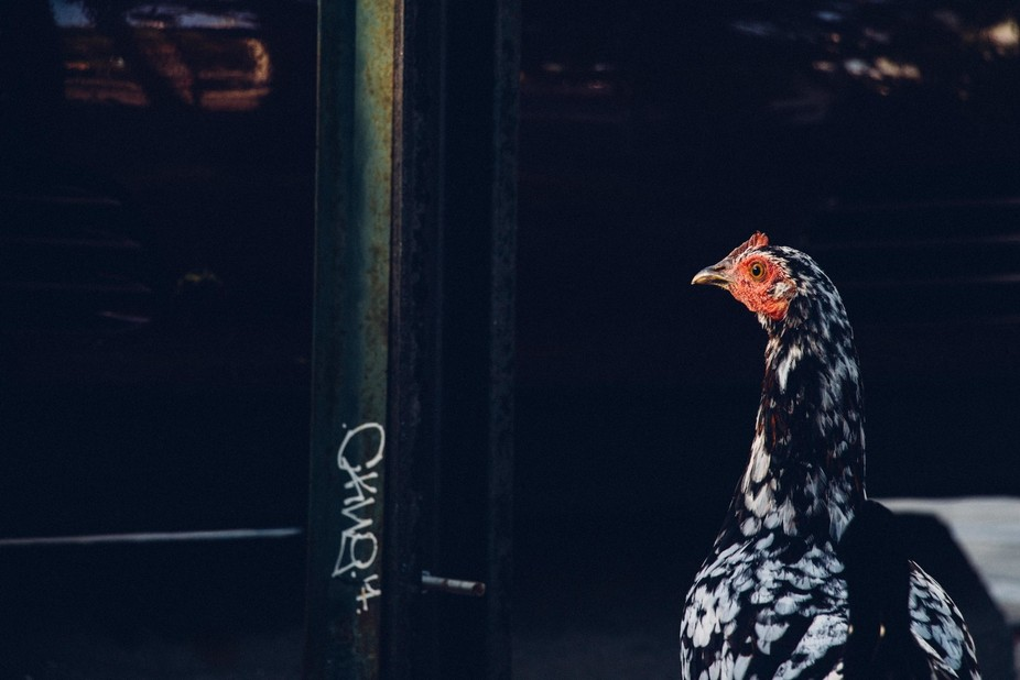 If ever you travel to Key West, Florida, you will notice that there are chickens roaming the stre...