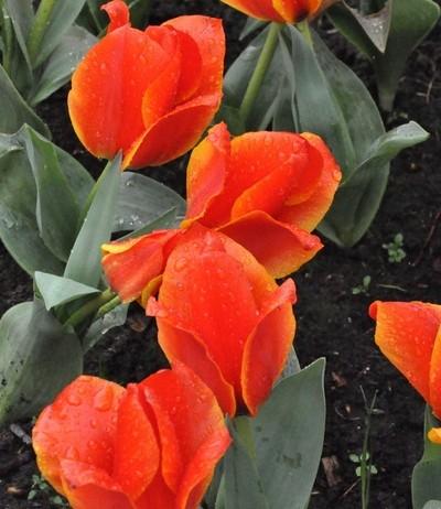 Water drops Hugging Tulips