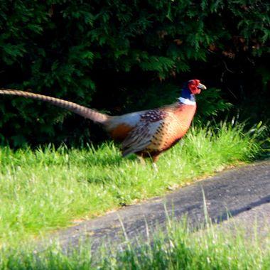 Male Pheasant on grass near hedgerow.