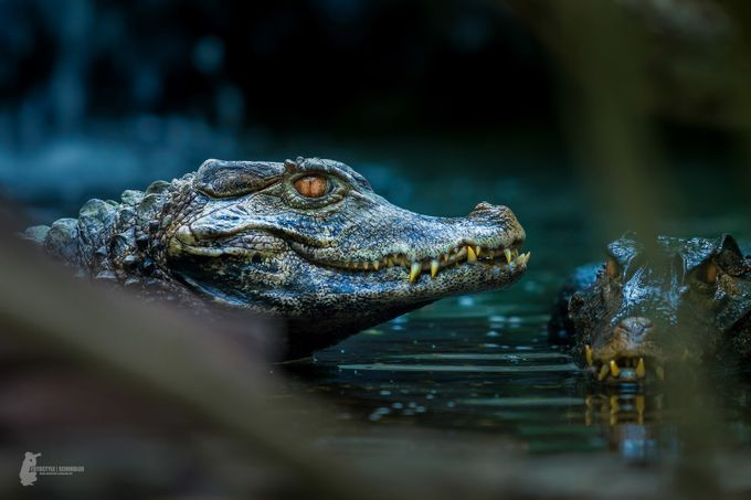 Caiman by Fotostyle-Schindler - Reptiles Photo Contest
