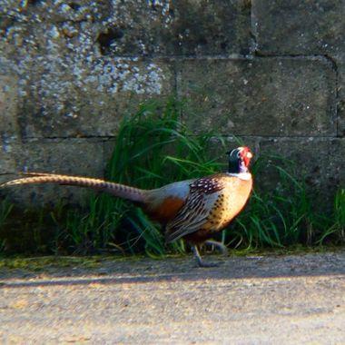 Pheasant against a wall.