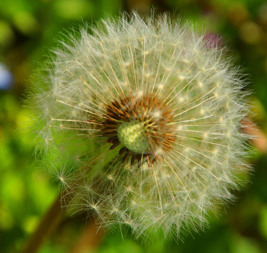 Dandelion Close up, with Canon 70 D and Tamron 16-300 mm, Basel, Switzerland, picture by Ivan Vul...